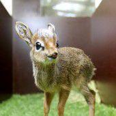 Süße Antilopen-Waise