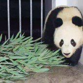 Wiener Panda-Bub gut in China angekommen