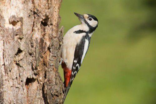 Mit seinem Schnabel kann der Buntspecht bis zu 20 Mal pro Sekunde auch auf härtestes Holz einhämmern.