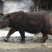 Nashorn reist nach Sumatra