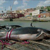 Walfang: Japan trotzt Verbot