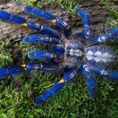 Das mysteriöse Blau der Vogelspinnen