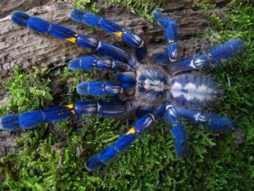Das Blau der Spinne entsteht durch sogenannte Nanostrukturen.
