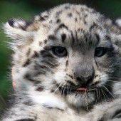 Kleines Schneeleoparden-Mädchen