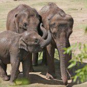 Elefanten nutzen Rüssel als Gebläse bei Nahrungssuche