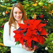 Blumige Adventzeit mit einem Weihnachtsstern zum halben Preis