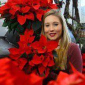 Mit Weihnachtssternen festliche Stimmung zaubern