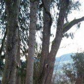 Birnbaumfrevler unterwegs