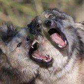 Mehr Wölfe werden kommen