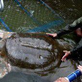 Vietnam trauert um Schildkröte Cu Rua