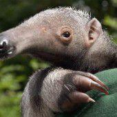 Junger Großer Ameisenbär