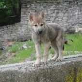 Kleiner Wolf auf der Pirsch
