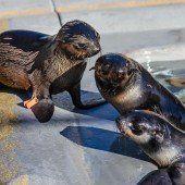 Rettung für Robbenbabys