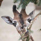 Niedliche Baby-Giraffe