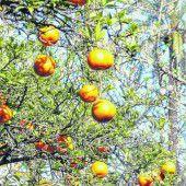 Orangen vom Baum pflücken