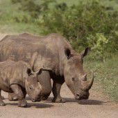 Weniger Nashörner  in Südafrika getötet