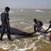 Dutzende Grindwale vor Indien gestrandet