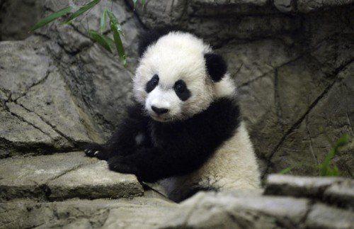"""Zoobesucher im """"Pandafieber"""": Viele von ihnen trugen Pandakostüme oder andere Accessoires."""