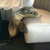 Seelöwenbaby verirrt sich in Luxusrestaurant