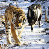 Tiger und Ziege vorerst getrennt