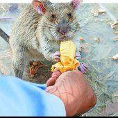 In Kambodscha gehen Ratten auf Minensuche