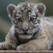 Kleiner Tiger ganz neugierig