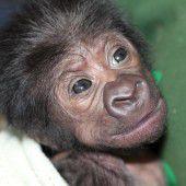 Gorillababy per Kaiserschnitt geboren