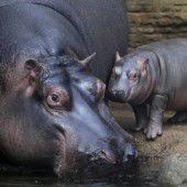 Baby-Hippo auf Kuschelkurs