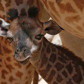 Süßes Giraffenbaby