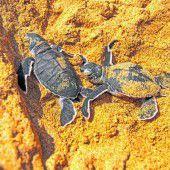Schildkröten sind vom Aussterben bedroht