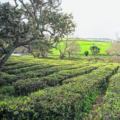 Europas einzige Teeplantagen