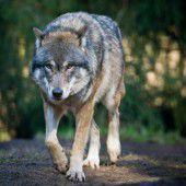 Jagd auf Wölfe