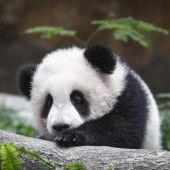 Panda auf Erkundungstour
