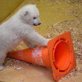 Verspieltes Eisbärbaby