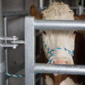 Rinder-TBC: Walgauer Viehbetrieb droht Keulung des Gesamtbestandes. A4