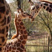 Giraffennachwuchs im Zoo Schmiding