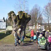 Baumkrone von Naturdenkmal radikal gestutzt