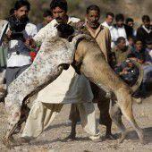 Brutale Hundekämpfe sind in Pakistan beliebt