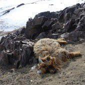Dzud tötet Tausende Tiere in der Mongolei