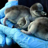 Frisch geschlüpfte Pinguin-Brüder