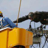 Schimpanse in Japan sorgt für Aufregung