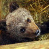 Neues Zuhause für Bären-Waise