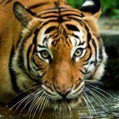 Zoowärterin von Tiger getötet