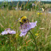 Wildbienen-Exkursion zum Alten Rhein