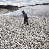 Ölunfall verschlimmert Fischsterben vor Chile