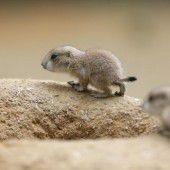 Neugierige Präriehundbabys