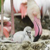 Nachwuchs bei den Flamingos
