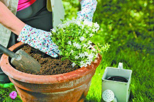 Neben gut durchlässiger und wasserspeichernder Erde empfiehlt sich beim Umtopfen auch der Einsatz eines Langzeitdüngers.