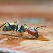 Ameisen natürlich bekämpfen
