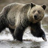 Wenn Grizzlys mit den Eisbären anbandeln . . .